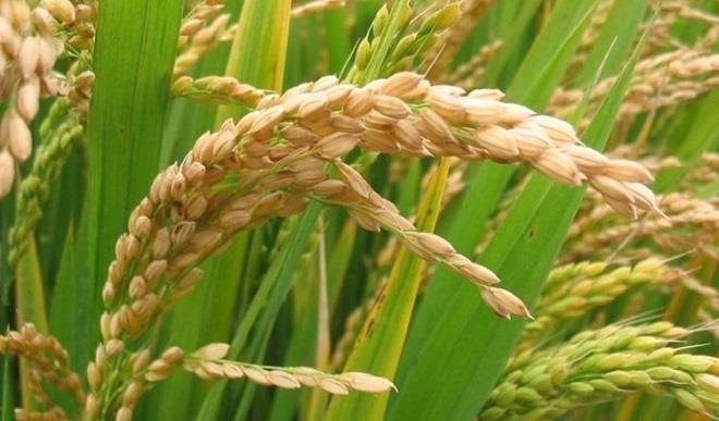 Wheat-Bauchi-TVCNews