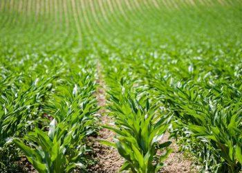 Corn field in Provence