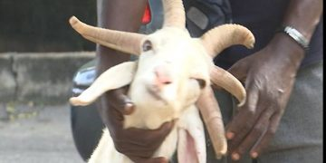 Video: See ram with five horns