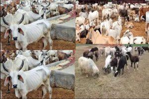 Taskforce recovers 274 rustled cattle, camels, others in Zamfara