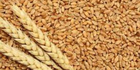 Latest Breaking Business News in Nigeria Today: CBN to put Wheat on FOREX restriction prohibition List